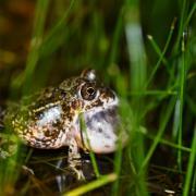 KRCA, Sand Frog, Tomopterna delalandii, James Cooper