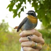KRCA, Cape Robin, bird ringing