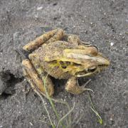 Frog, Meadowridge Common